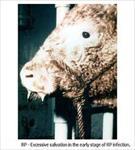 پاورپوینت بیماری طاعون گاوی (Rinder pest)