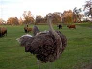 دانلود طرح توجیهی تولید گوشت شتر مرغ