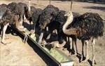 پاورپوینت پرورش شترمرغ